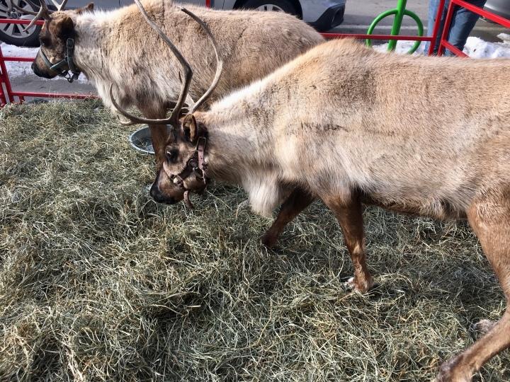 reindeer day 3
